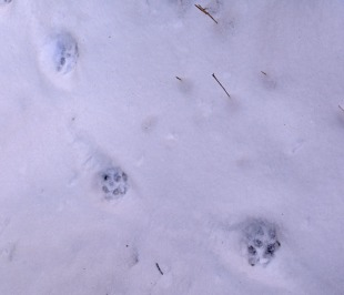 smaller five-toed tracks