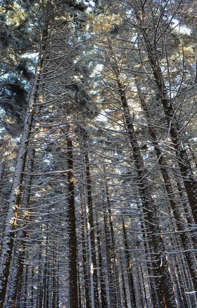 tall winter trees