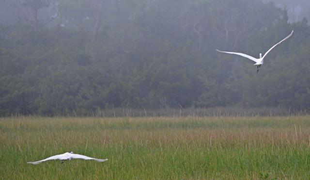 two egrets in flight