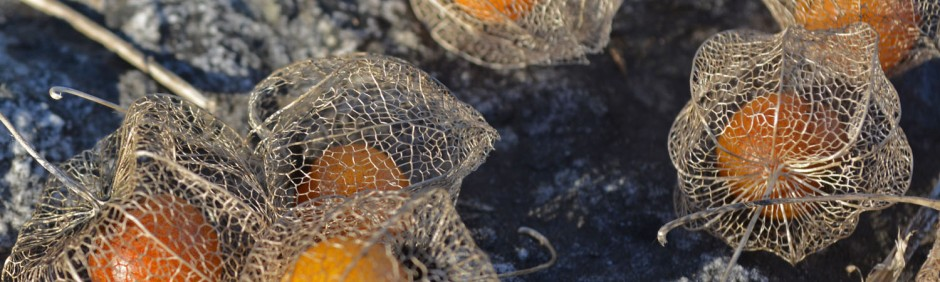 ground cherry header