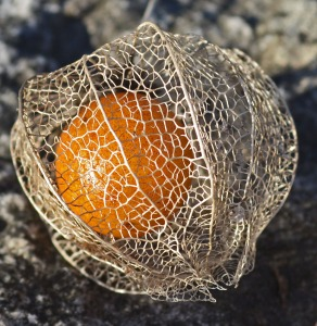 single ground cherry