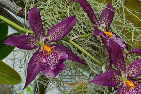spotted purple