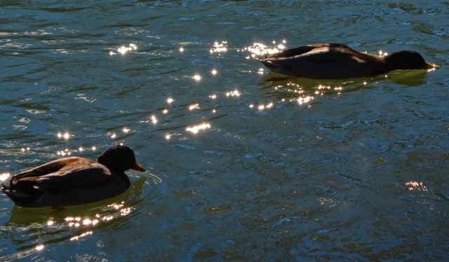 two ducks in sparkling water