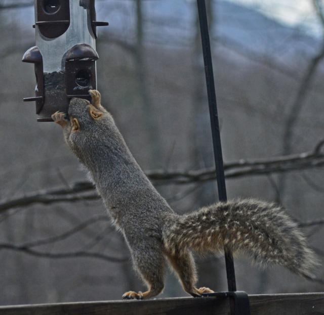 squirrel raiding bird feeder