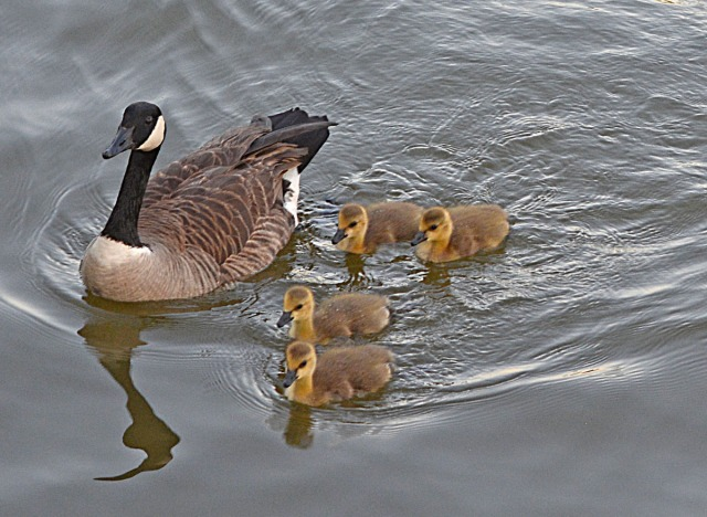 Canada Goose with young goslings