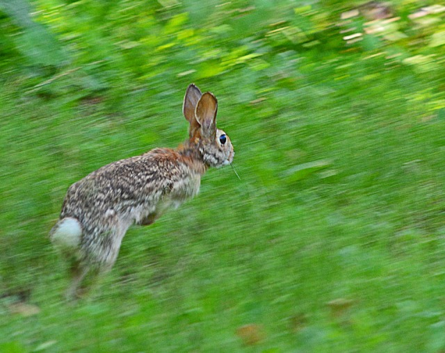 rabbit running free