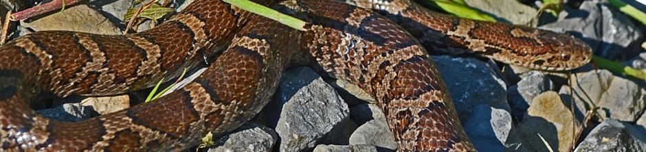 snake header