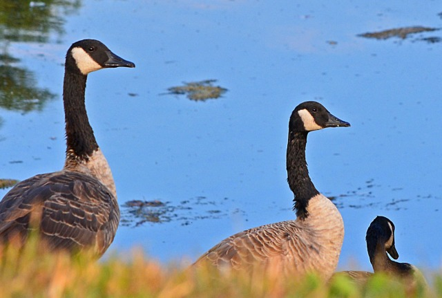 3-geese-by-the-water