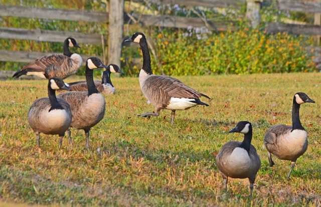 a-gathering-of-geese