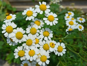 feverfew-blossoms