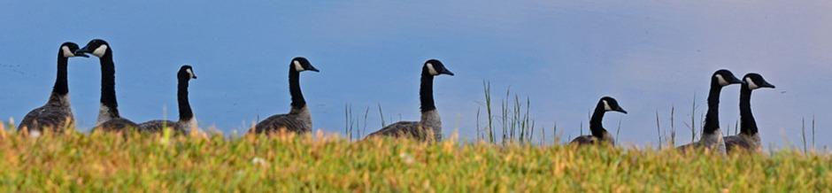 geese-header