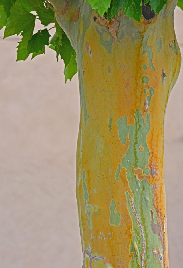 yellow and green bark