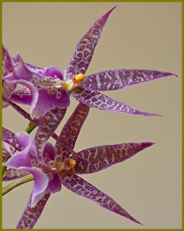 Miltassia hybrid orchid
