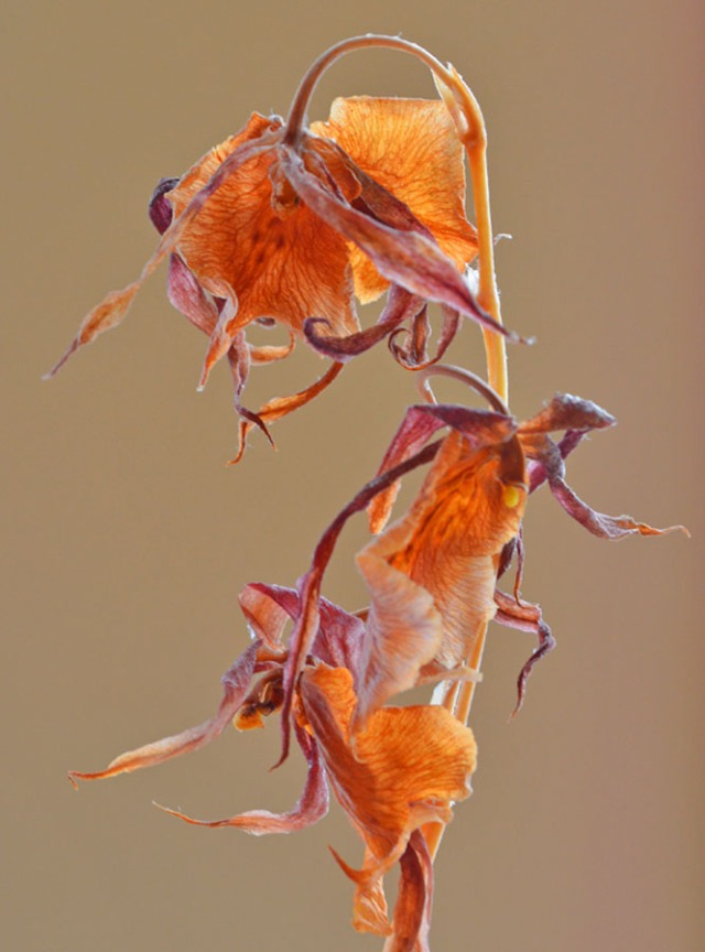 Dried orchids