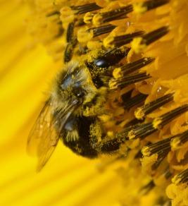 bee gathering pollen 120