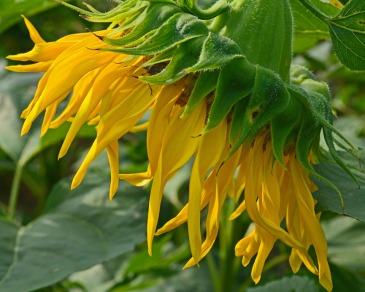 fringe of yellow petals 120