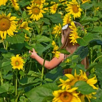 little girl among giant sunflowers 120