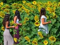 three friends among sunflowers 150