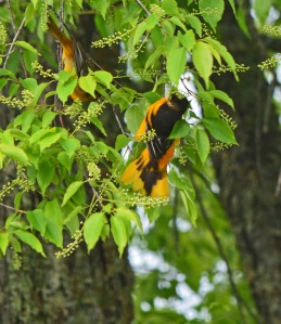 Baltimore Oriole couple