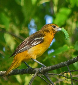 female oriole with caterpillar