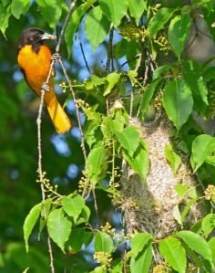 male oriole with food by nest