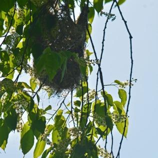 oriole nest 2