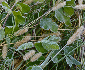 frost on grasses