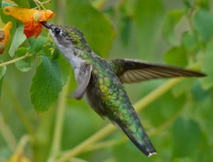Hummingbird feeding on jewelweed