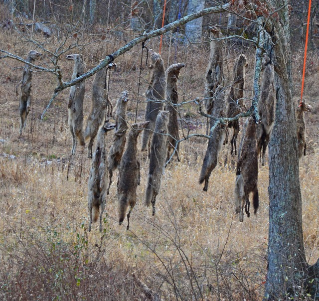 tree with dead coyotes hanging from it